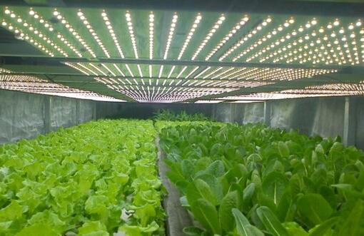 LEDqy288千赢国际灯在大棚蔬菜中的应用
